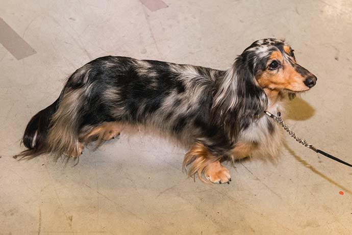 фото собак разных пород: Мраморная длинношерстная такса