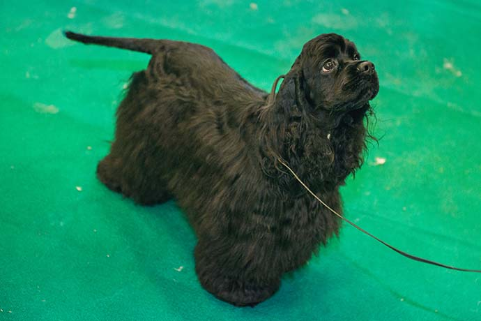 фото собак разных пород: Английский кокер-спаниель