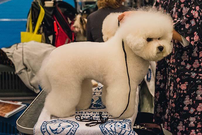 фото собак разных пород: Бишон Фризе