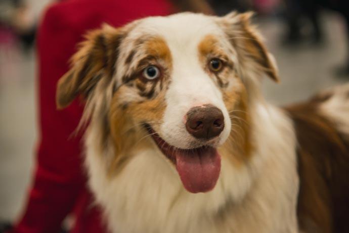 фото собак разных пород - фото большой собаки: Австралийская овчарка