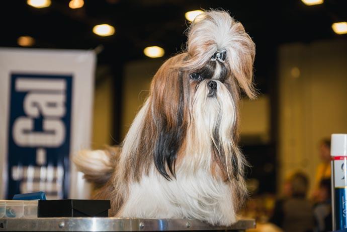 фото собак разных пород: Ши - тсу