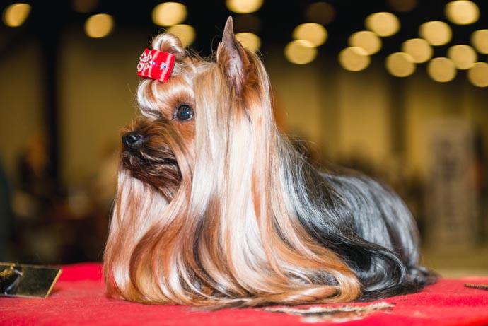 фото собак разных пород: Йоркширский терьер
