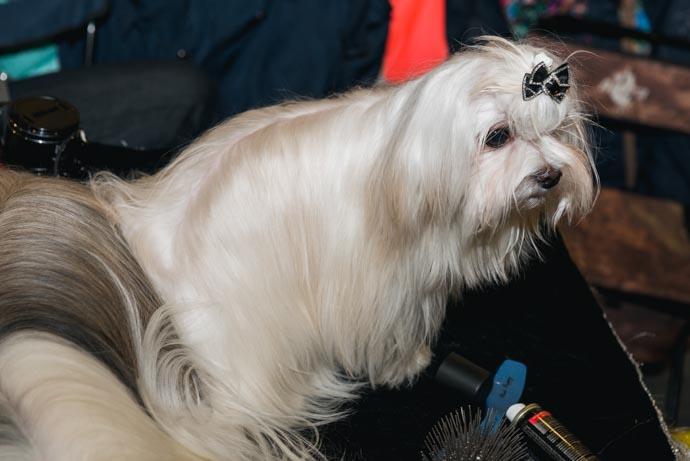 фото собак разных пород: Мальтийская болонка