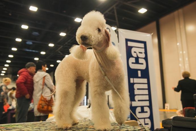 фото собак разных пород: Бедлингтон-терьер
