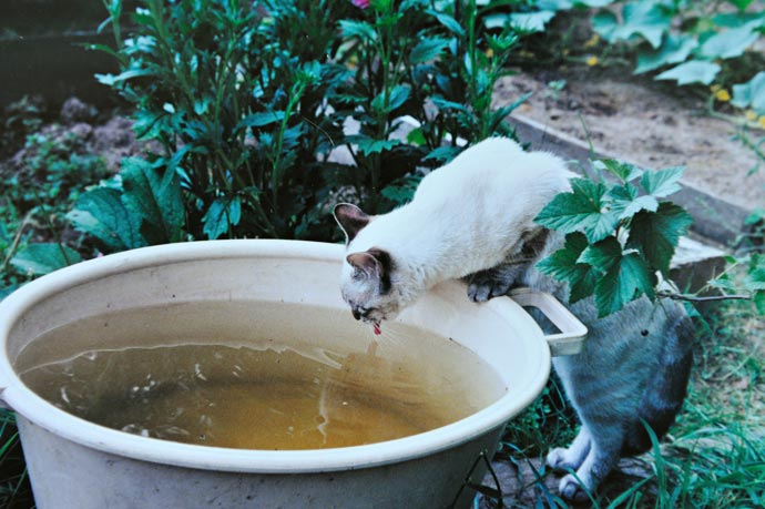 Кот пьет из таза