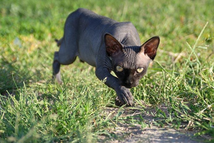 Кошки бесшерстные - сфинкс