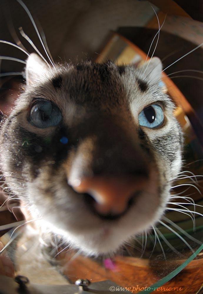Широкоугольный кот - снято на объектив рыбий глаз